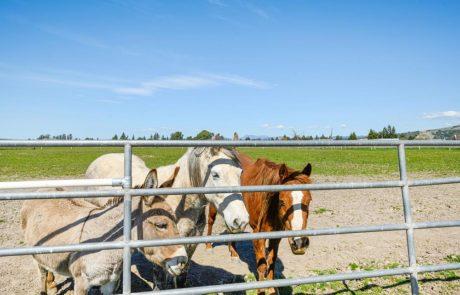 herd animals