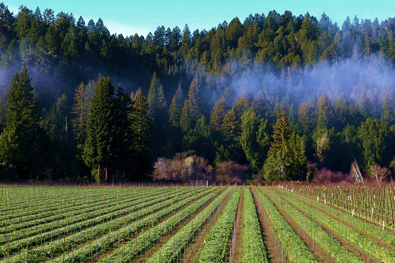 Russian River vineyard